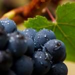 223_1web_oregon_wine_grape_harvest_02