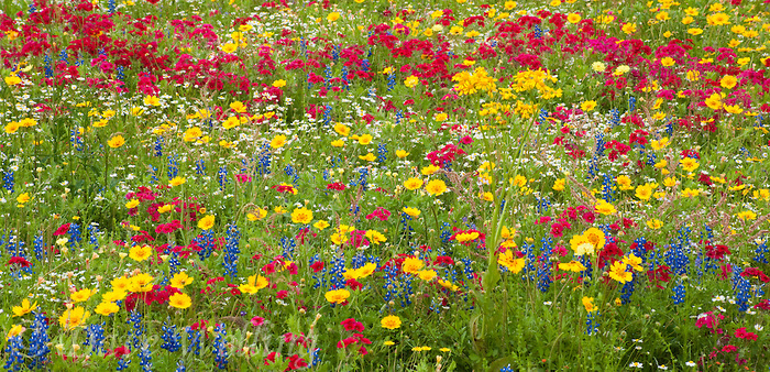 spring wildflowers put forth brilliant color displays in spring in the texas hill country if rains have cooperated