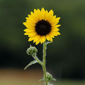 _JR25944-sun-flower