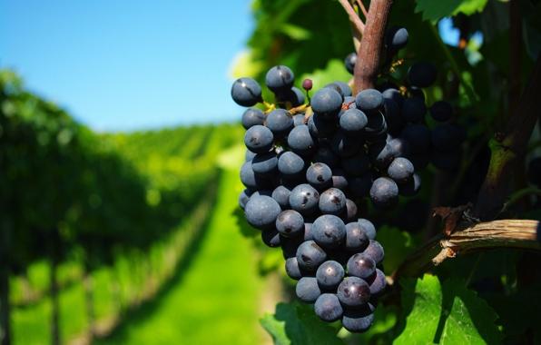 vinograd-grona-lstva-vetki