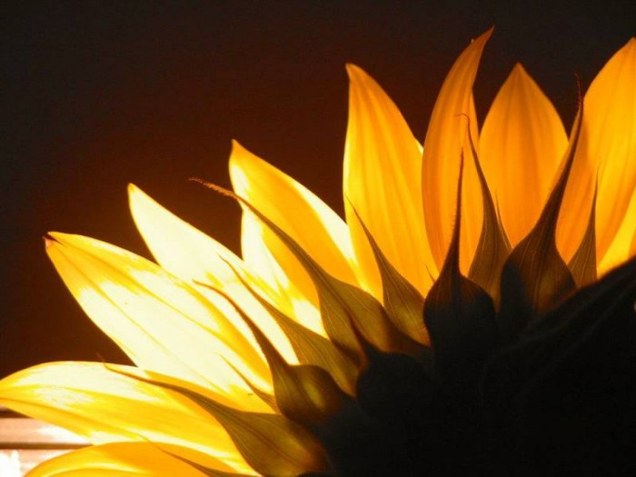 excellent-sun-flower-yellow-pretty