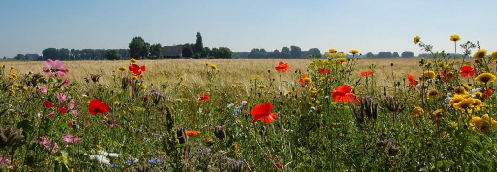 bloemrijke-akkerranden-2-banner-21-1300x450