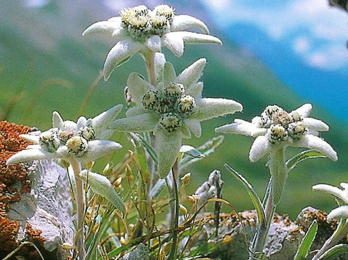 edelweiss_switzerland