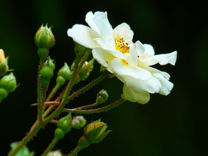 wild-rose-7659_960_720