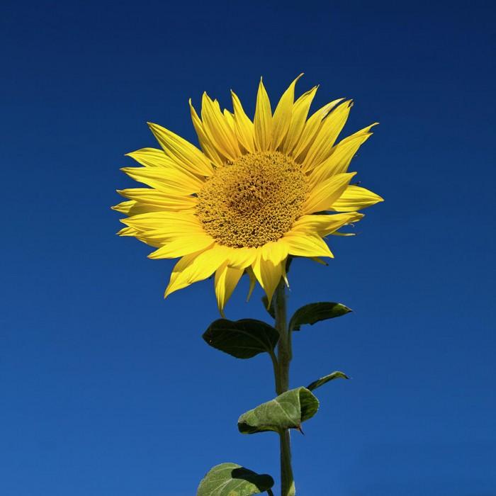 sunflower-fotografias-de-rodolfo-velasco