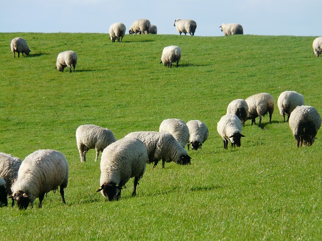 flock-of-sheep-57690_640
