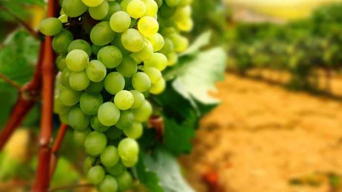 grape-vines-hd-widescreen-my-79627