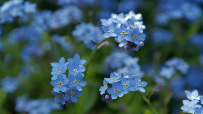 forget-me-not-748799_960_720