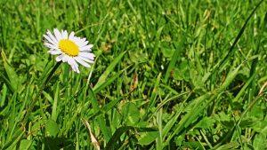 daisy-761410_640
