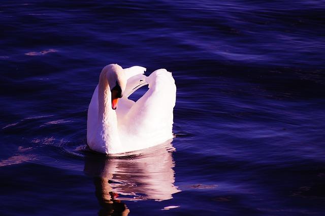 swan-1002943_640