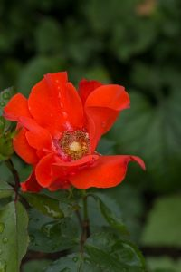 flower-1493464_960_720