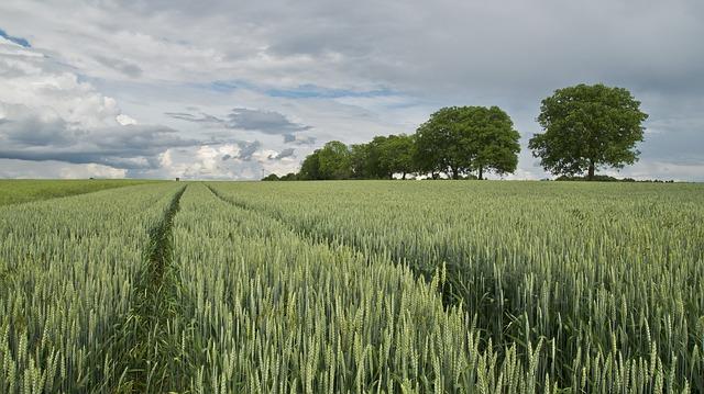 wheat-175960_640